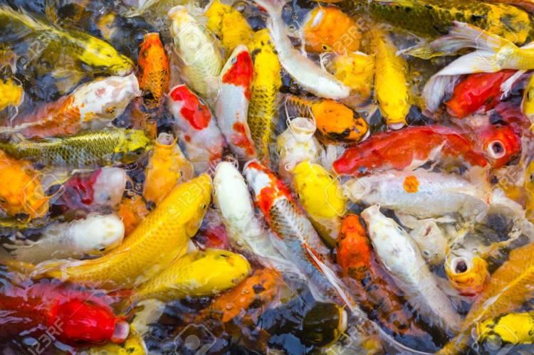 Image result for goldfish color variations