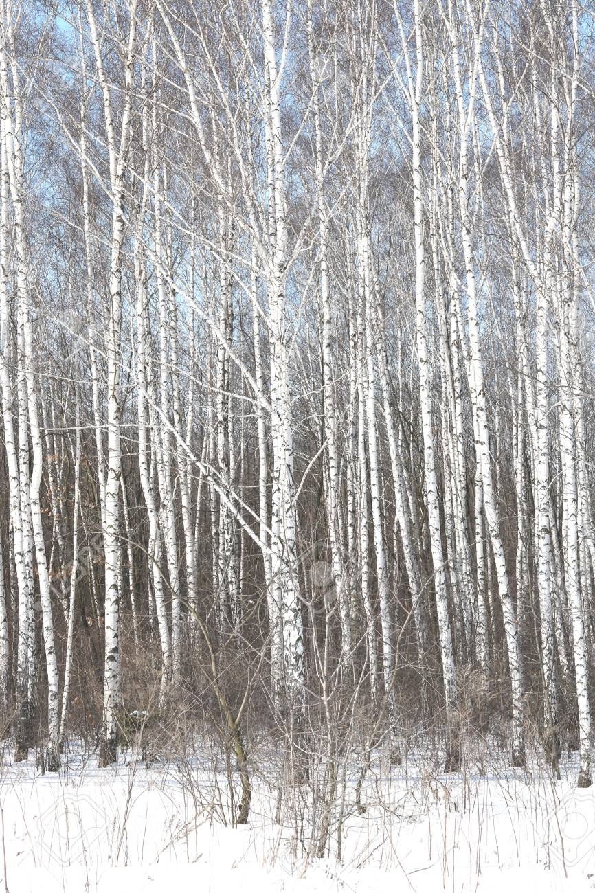 Black And White Birch Trees With Birch Bark In Birch Forest Among Stock Photo Picture And Royalty Free Image Image 102997918