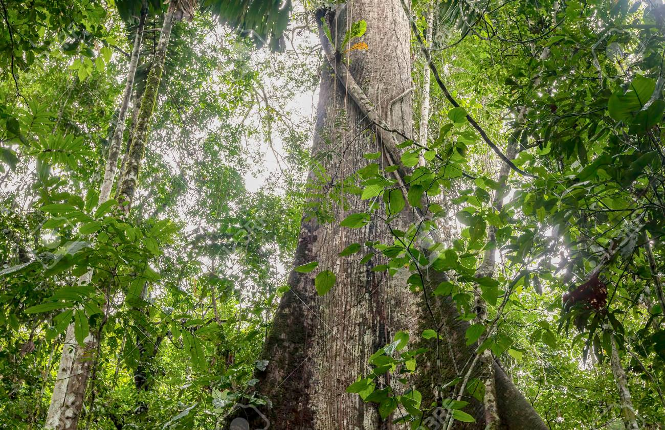 Forest area is land under natural or planted stands of trees of at least 5 meters in situ,. Ceiba Is The Name Of A Genus Of Many Species Of Large Trees Found In Tropical Areas South America Stock Photo Picture And Royalty Free Image Image 60353309