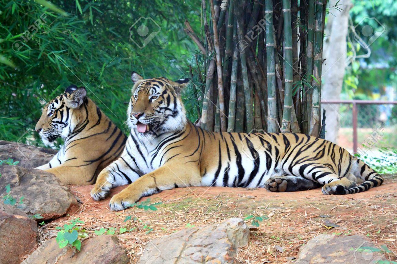 two tiger relax on the floor stock photo, picture and royalty free