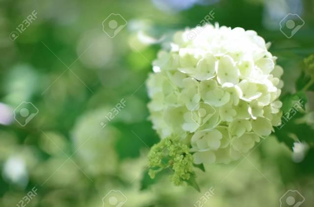 Stock Photo White Hydrangea Arborescens Annabelle Flower