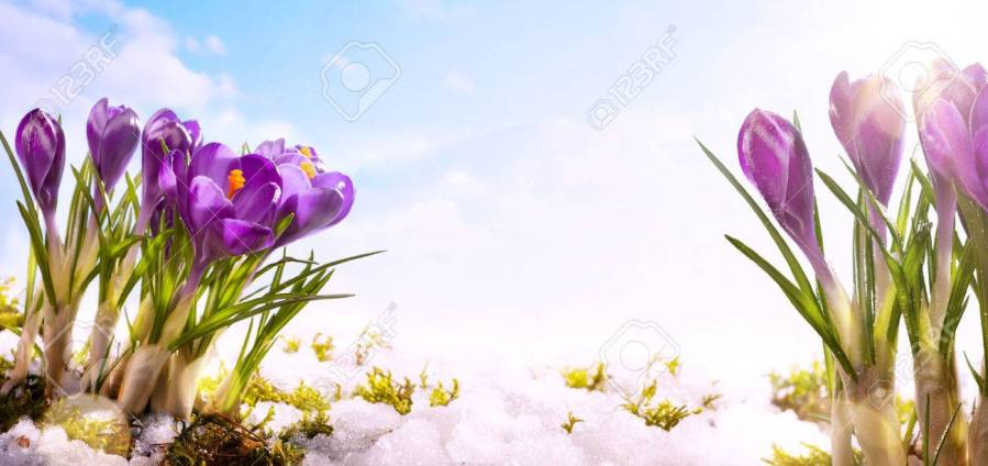 Snowdrops Crocus Flowers In The Snow Thaw Stock Photo  Picture And     snowdrops crocus flowers in the snow Thaw Stock Photo   52674404
