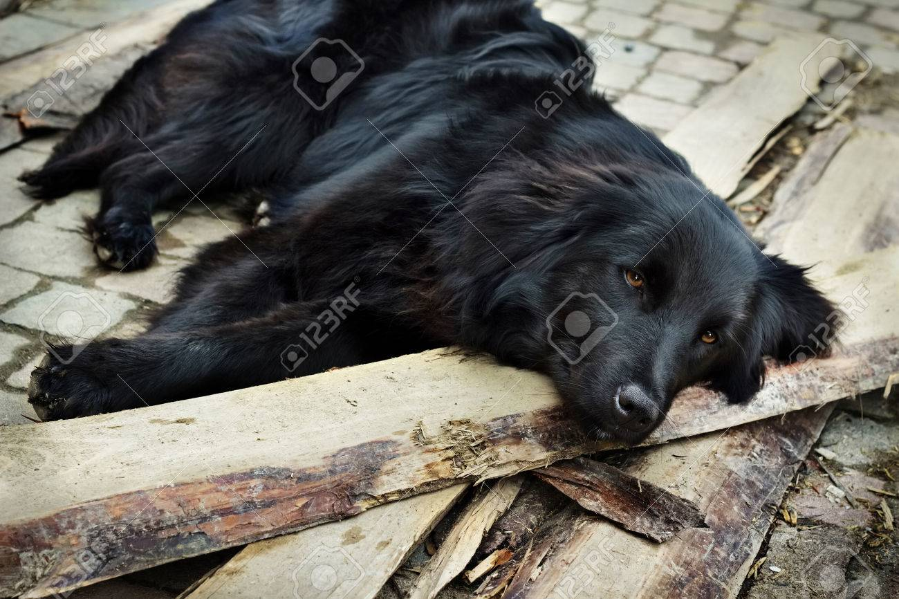 lonely black dog with sad eyes is laying and waiting someone
