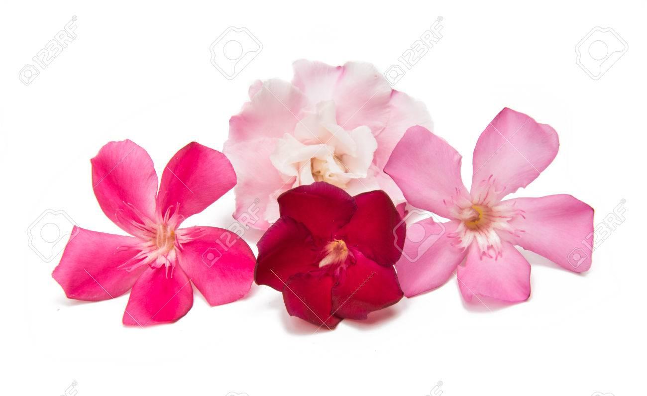 fleur de laurier rose isole sur fond blanc banque d images et photos libres de droits image 80792618