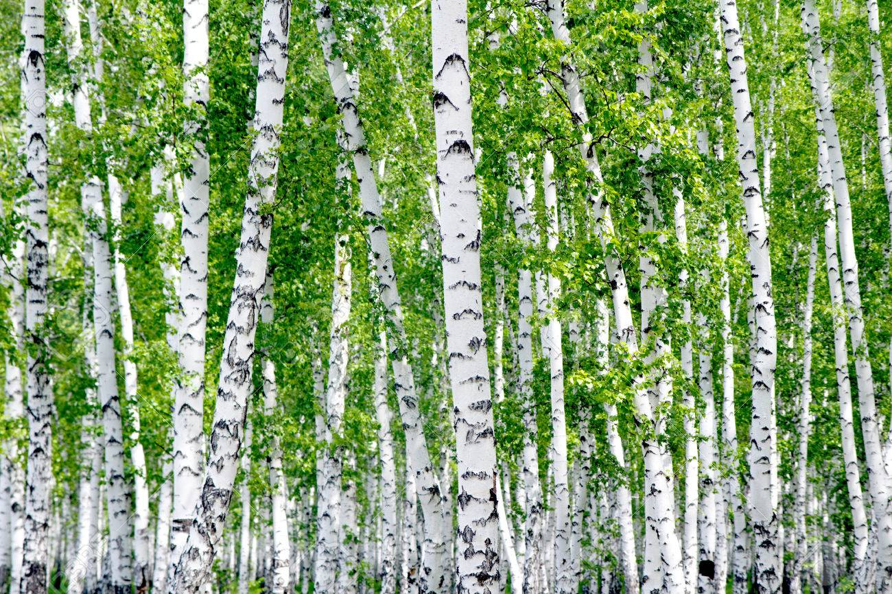 White Birch Trees In The Forest In Summer Stock Photo Picture And Royalty Free Image Image 29695053