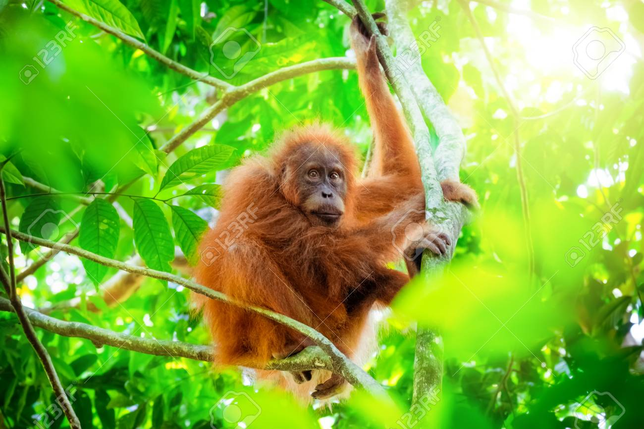 tropical rain forests are found along the earth's equator. Animals In Wild Orangutan Cute Baby In Tropical Rainforest Relaxing Stock Photo Picture And Royalty Free Image Image 94031521
