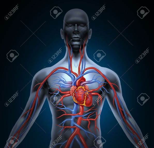 Human Circulation Cardiovascular System With Heart Anatomy From.. Stock  Photo, Picture And Royalty Free Image. Image 12024516.