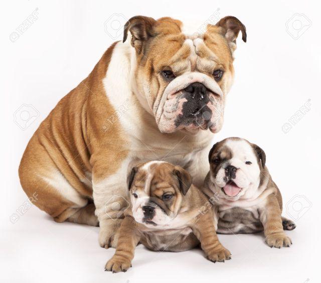 bulldog inglés cachorro y perro adulto fotos, retratos, imágenes y