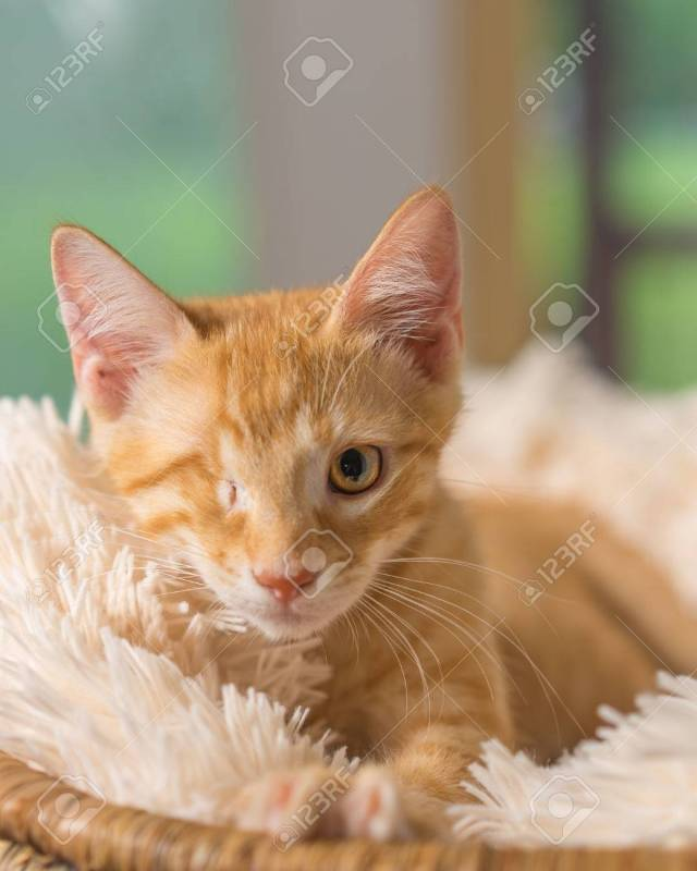 Stock Photo Young Yellow Domestic Shorthair Cat Kitten Lying Down On Soft Blanket Looking Up With One Eye Looking Pampered Relaxed Friendly At Home