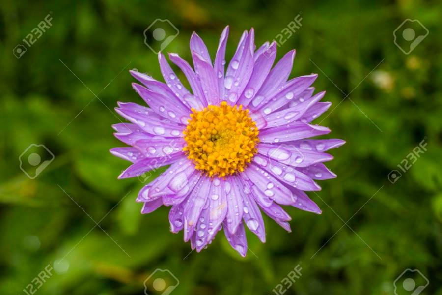 Mountain Flowers Aster Alpinus Stock Photo  Picture And Royalty Free     Mountain flowers Aster alpinus Stock Photo   37374193