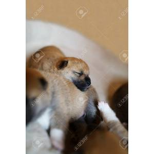 Sophisticated Baby Shiba Inu Dog Cover Case Note Huawei