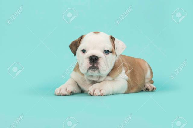 brown and white english bulldog puppy lying down looking at the..