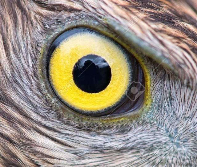 Eagle Eye Close Up Eye Of The Goshawk Stock Photo 93534221