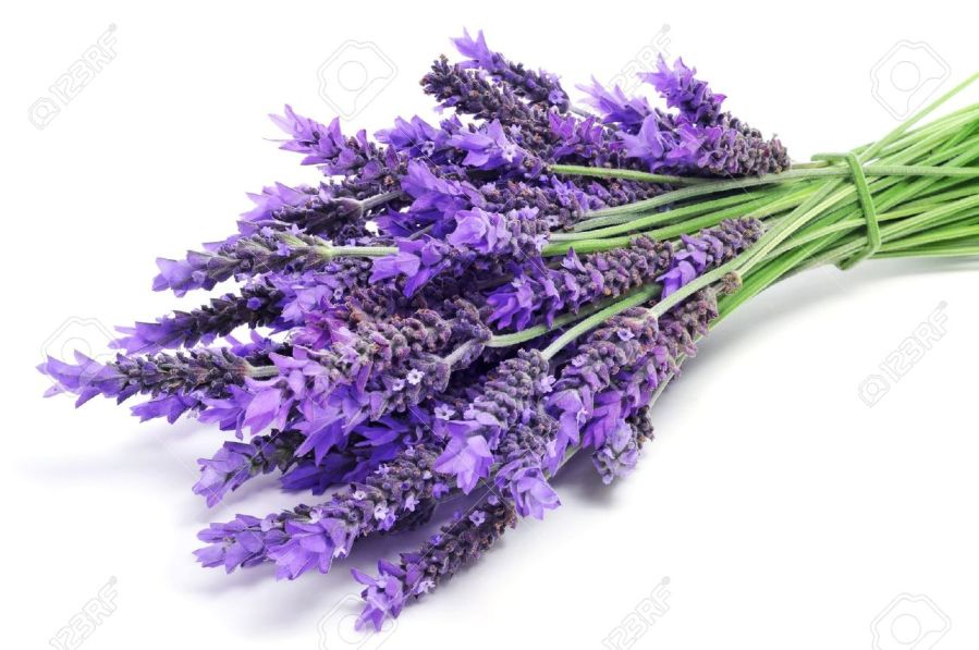 A Pile Of Lavender Flowers On A White Background Stock Photo     a pile of lavender flowers on a white background Stock Photo   20330370