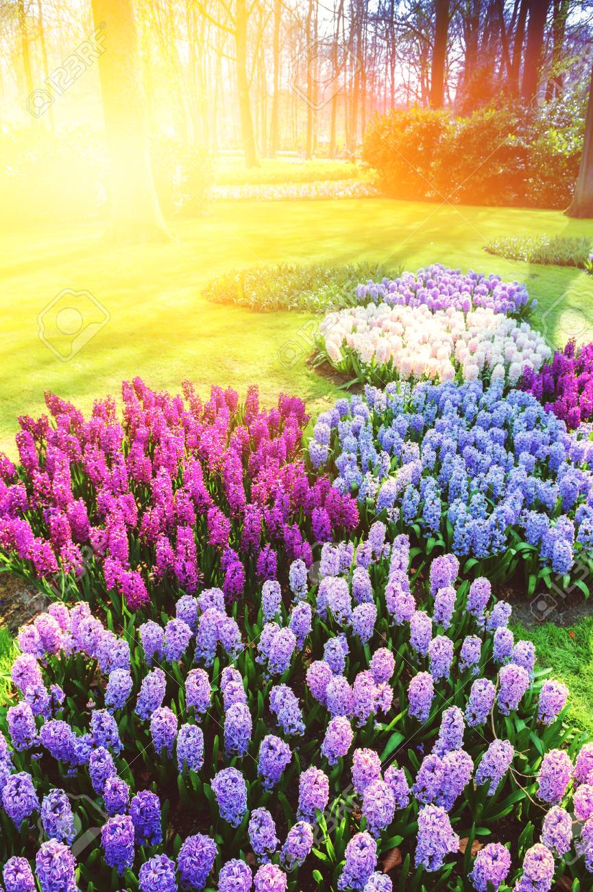 spring landscape with beautiful colorful hyacinths spring nature