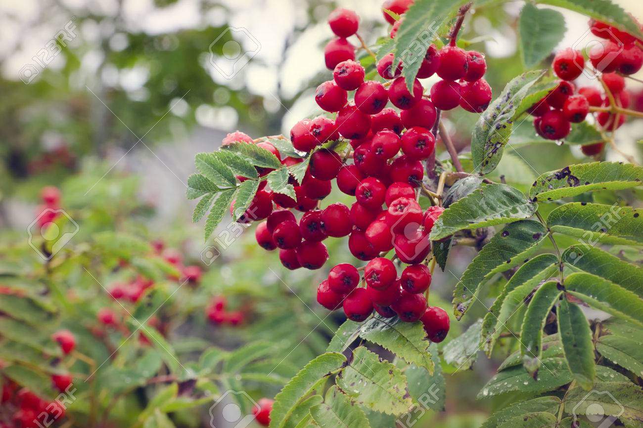 Image result for rowan tree after rain