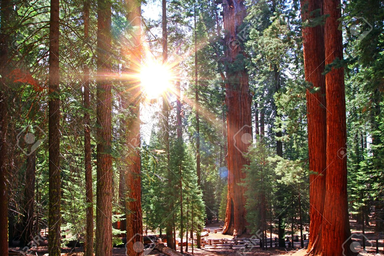 Image result for sequoia forest