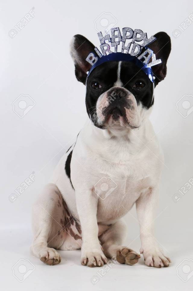 funny french bulldog is sitting in the studio with happy birthday