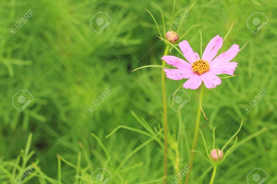 Pink Flowers Cosmos Bloom Beautifully Stock Photo  Picture And     Pink flowers cosmos bloom beautifully Stock Photo   84617549