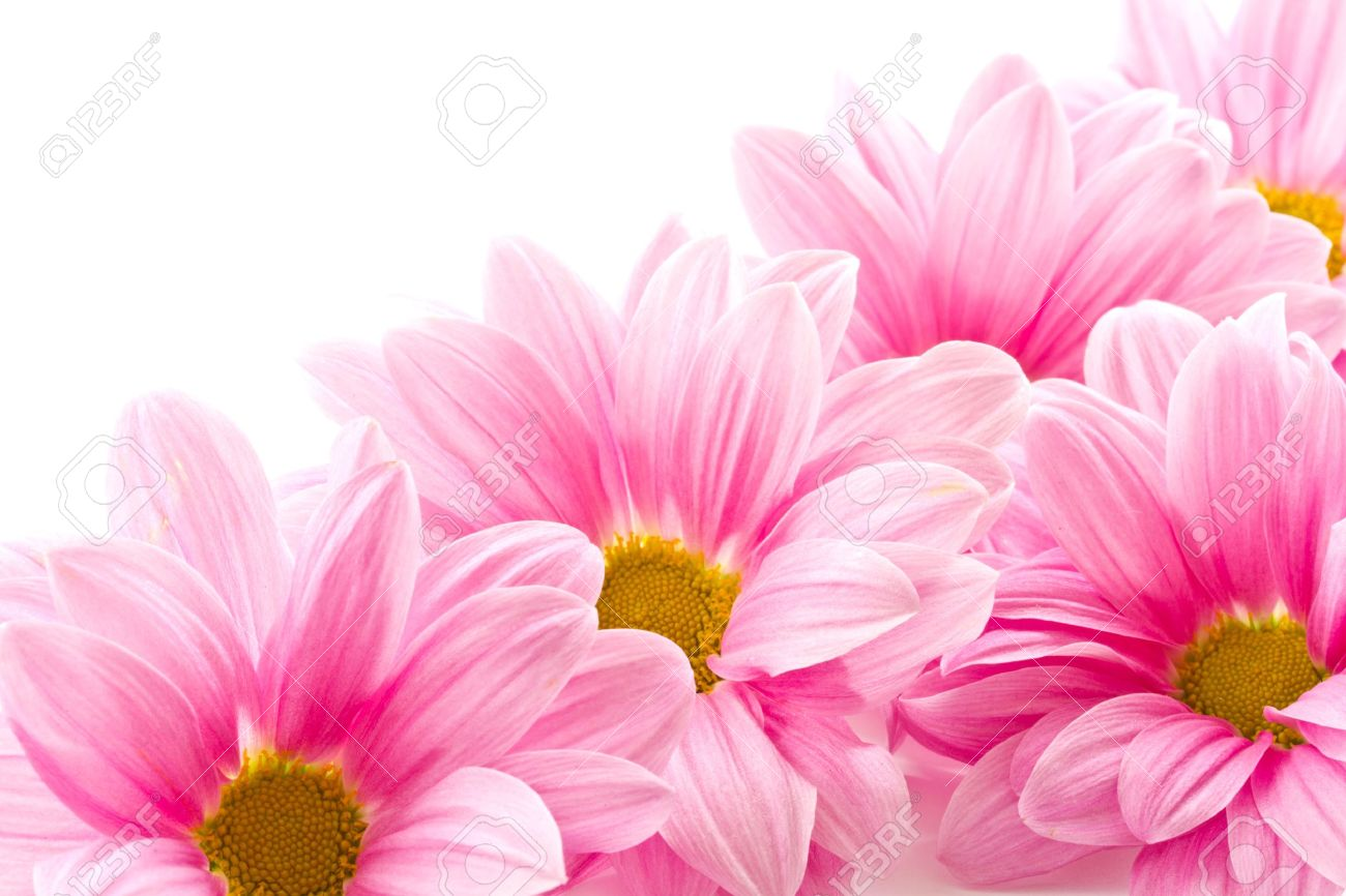 Beautiful Blooming Pink Flowers On A White Background Stock Photo Picture And Royalty Free Image Image 10994388