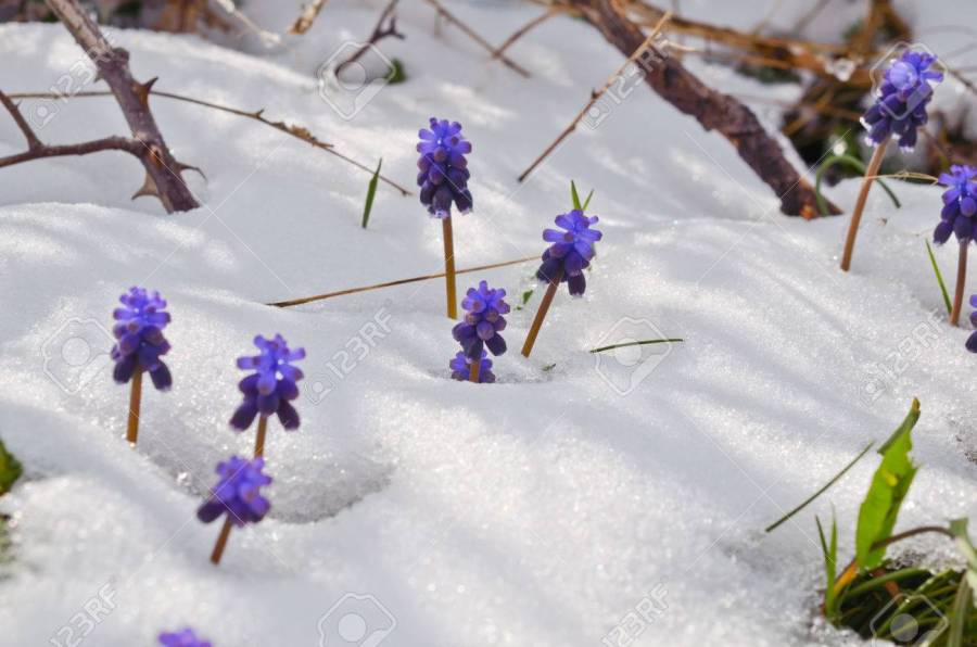 Purple Flowers In Snow In Spring Stock Photo  Picture And Royalty     Purple flowers in snow in spring Stock Photo   23095395