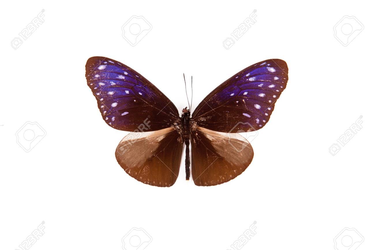 papillon marron et bleu euploea paenareta isole sur fond blanc