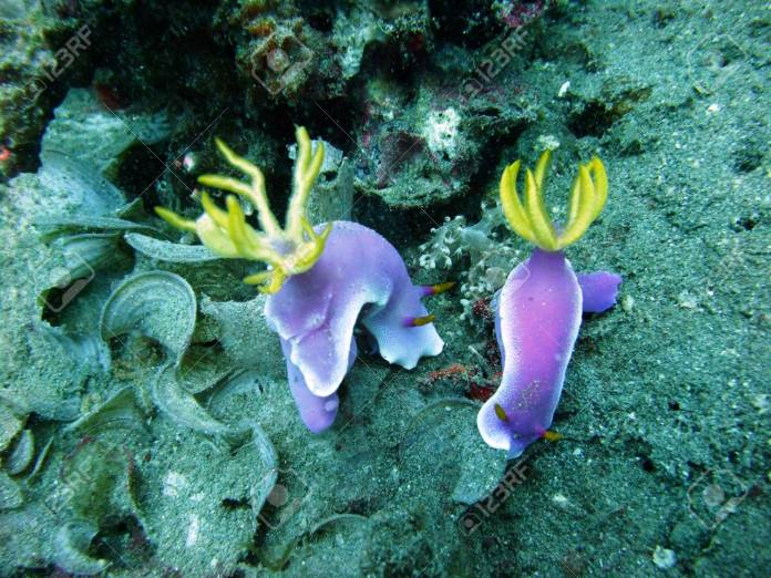 Colorful Nudibranchs Underwater Off Manado In Indonesia Stock Photo Picture And Royalty Free Image Image 37226328