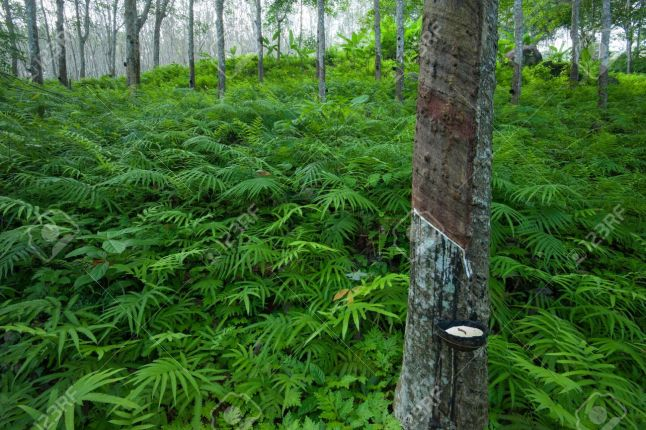 21232117 latex rubber tree plantation in tropical forest in asia Stock Photo Lateks Ağacı Hakkında Geniş Bilgi
