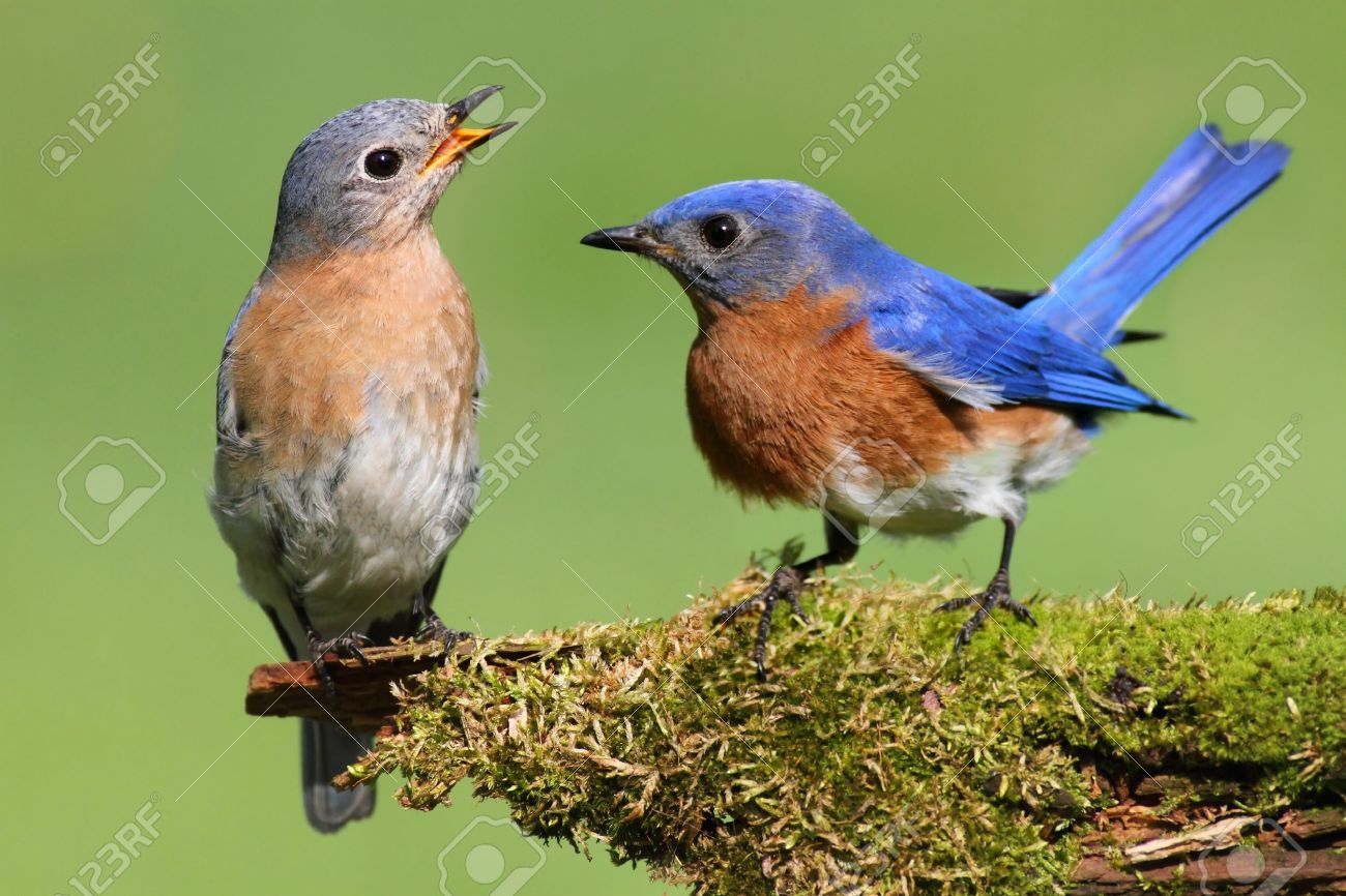 pair of eastern bluebird (sialia sialis) on a log with moss stock