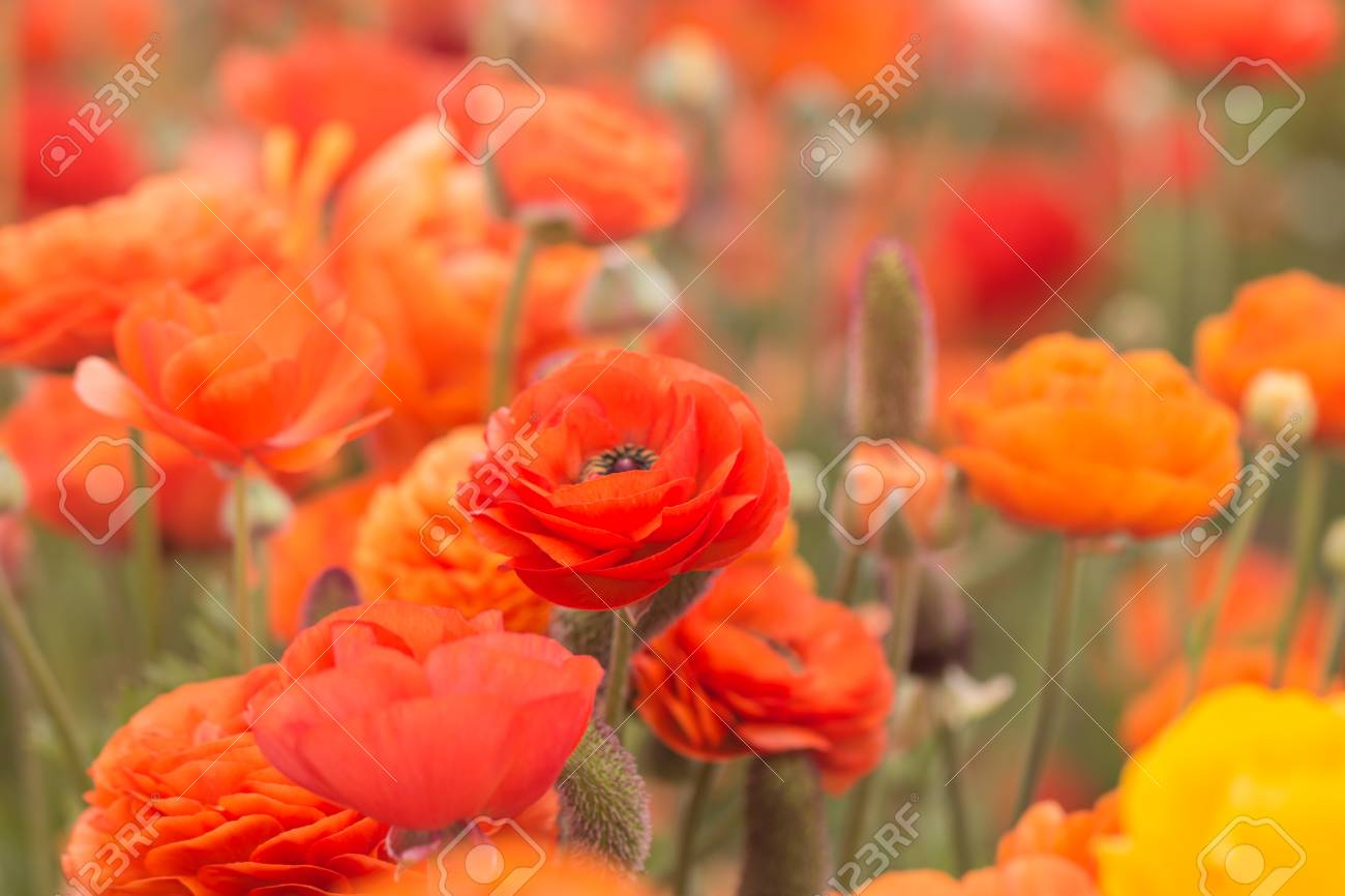 Close Up Of Orange Ranunculus Flowers In A Field  Spring Time  Stock     Close up of orange ranunculus flowers in a field  spring time  Stock Photo