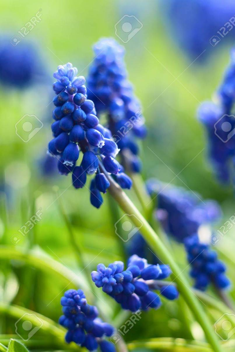 Pictures of small blue flowers djiwallpaper small blue flowers at spring closeup photo stock picture and izmirmasajfo
