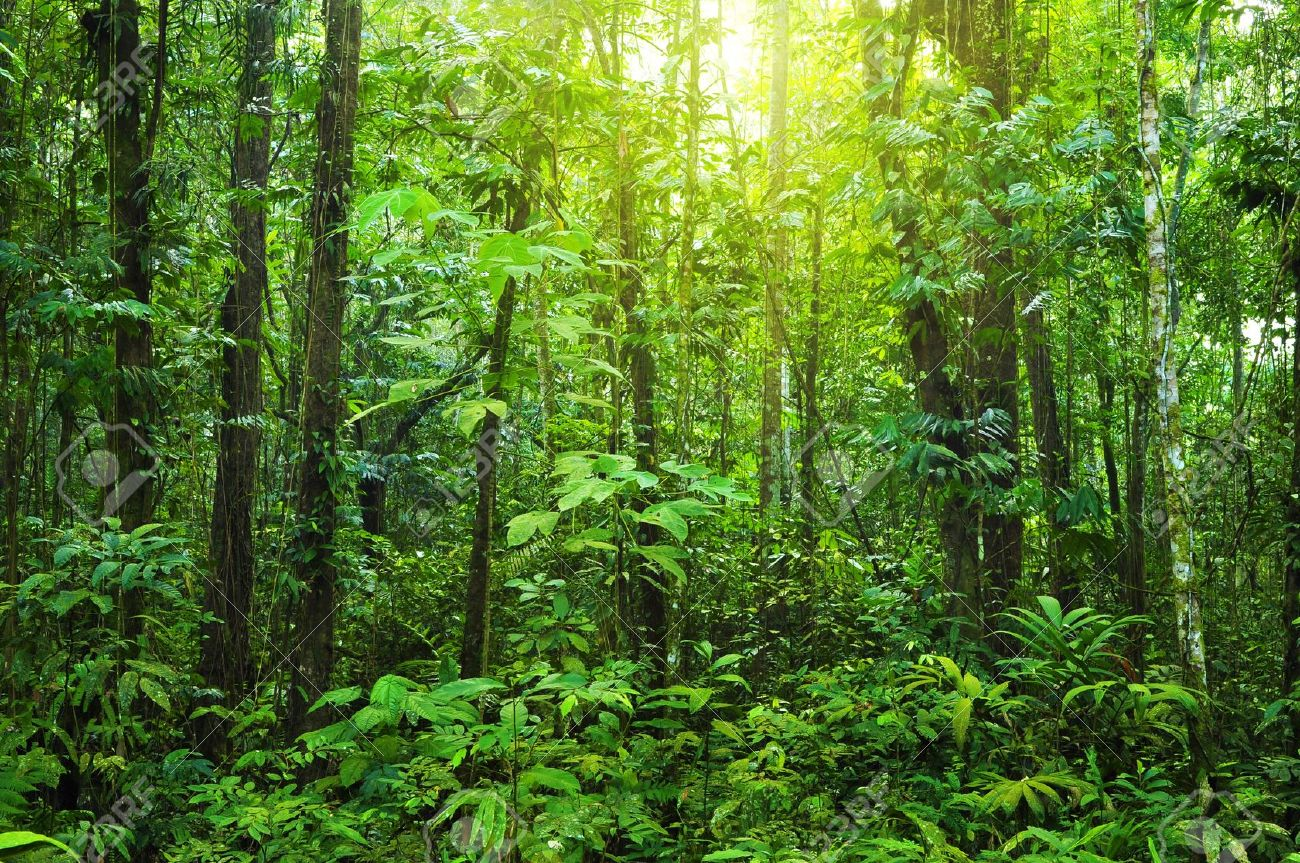 Tall deciduous trees make up the top layer of plant growth, and they create a moderately dense forest canopy. Tropical Dense Forest With Morning Sunlight Shine On To It Stock Photo Picture And Royalty Free Image Image 5738493