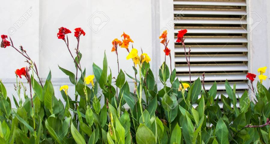 Beautiful Canna Flowers Indian Shot  Canna Canna Spp And Hybrid     Beautiful canna flowers Indian shot  Canna Canna spp and hybrid Stock Photo    27676578