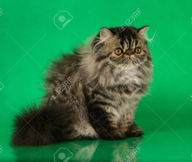 Cute Fluffy Persian Black Grey Tabby Cat On Green Studio Background Stock Photo