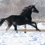 Black Russian Riding Horse Runs Gallop In Winter Stock Photo Picture And Royalty Free Image Image 12377797