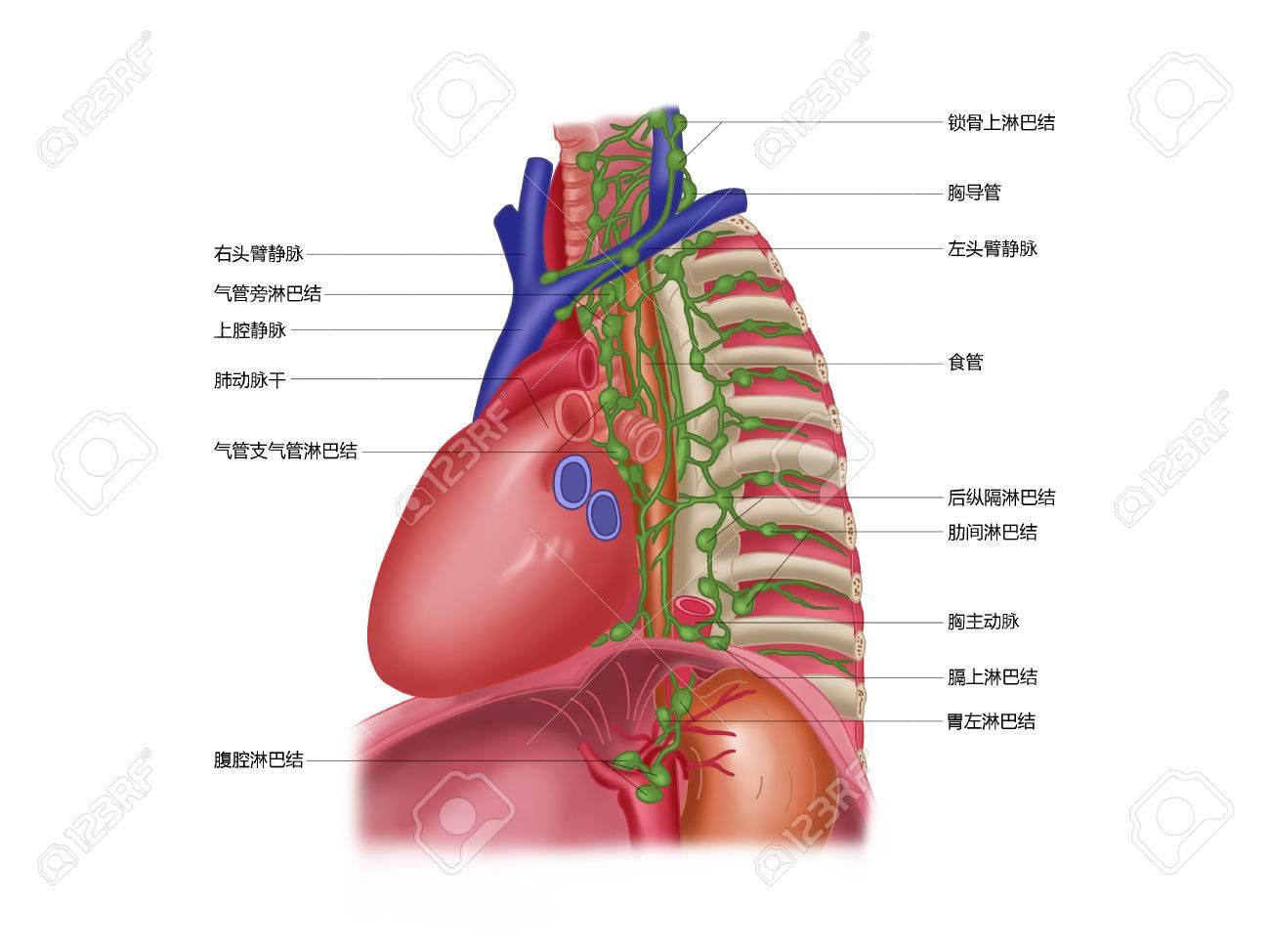 Diagram Of Mediastinal Lymph Nodes Library Of Wiring Diagram