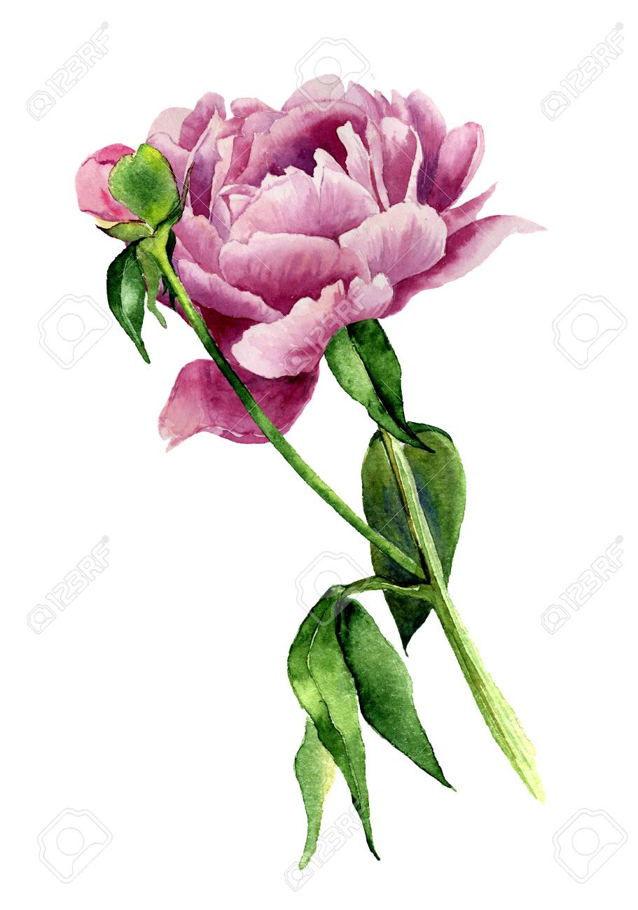 Watercolor Peony Flower  Vintage Floral Illustration Isolated     Illustration   Watercolor peony flower  Vintage floral illustration  isolated on white background  Hand drawn botanical illustration for your  design