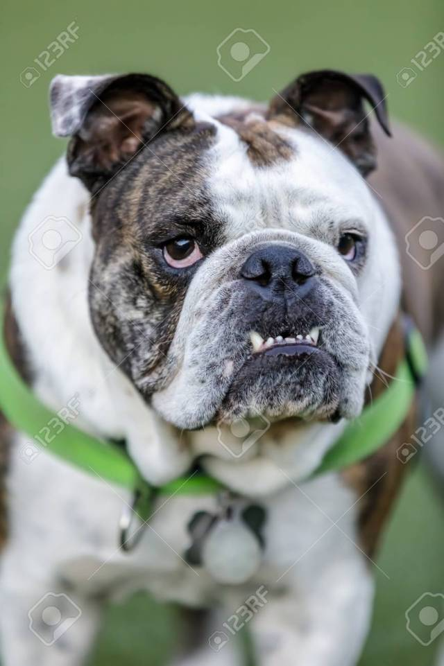 brindle and white english bulldog puppy male with pronounced..