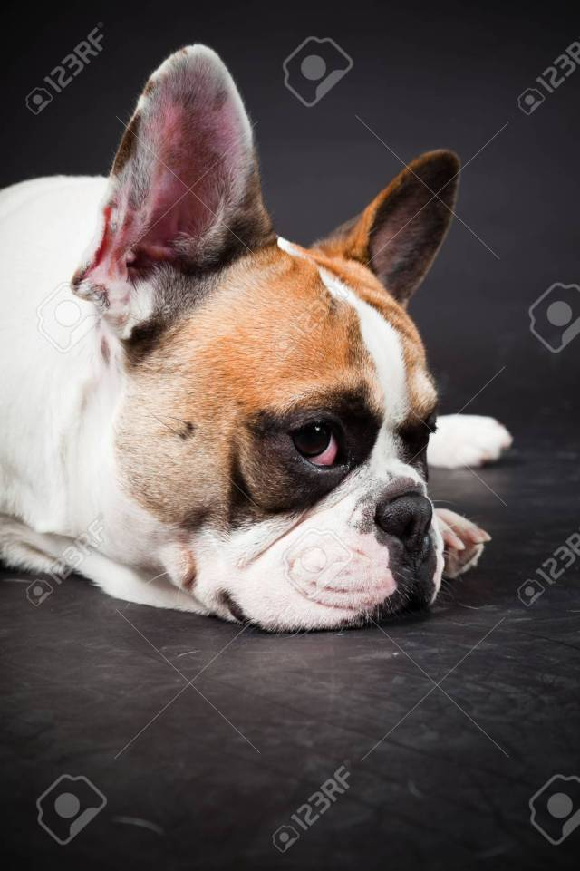brown white french bulldog isolated on black background studio..