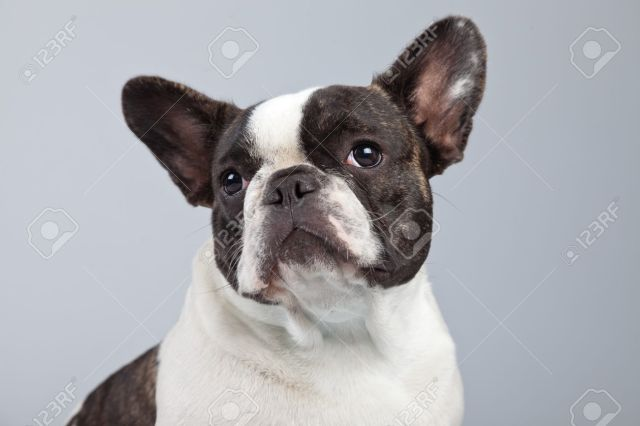 french bulldog black and white isolated against grey background