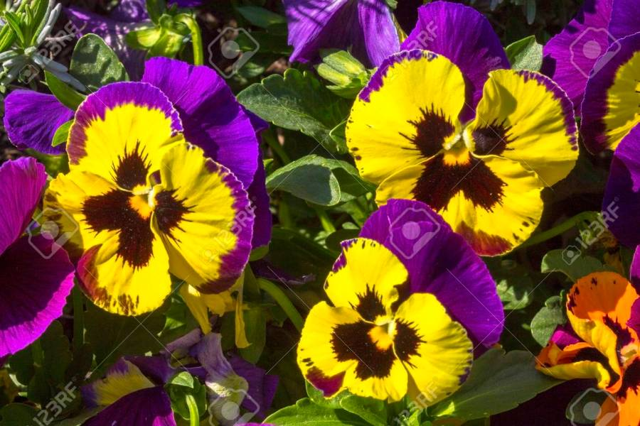 Pansy Purple Flowers In A Garden Stock Photo  Picture And Royalty     Pansy purple flowers in a garden Stock Photo   81421097