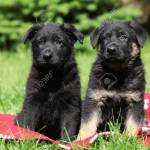 Two German Shepherd Puppies Sitting Side By Side On Red Blanket Stock Photo Picture And Royalty Free Image Image 19053277