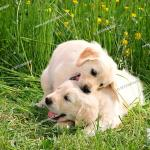 Two Golden Retriever Puppies Playing On Meadow Stock Photo Picture And Royalty Free Image Pic Juf 147177 Agefotostock