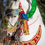 Marwari Horse Nukra Coloured Horse With With Traditonal Tack Portrait Stock Photo Picture And Rights Managed Image Pic Ssj 191312 Agefotostock