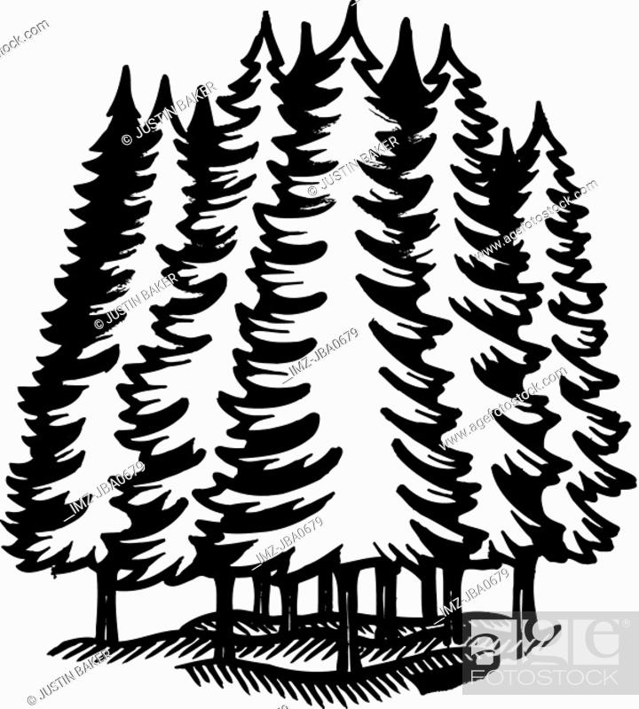 Evergreen christmas tree, spruce, fir. A Black And White Illustration Of An Coniferous Forest Stock Photo Picture And Royalty Free Image Pic Imz Jba0679 Agefotostock