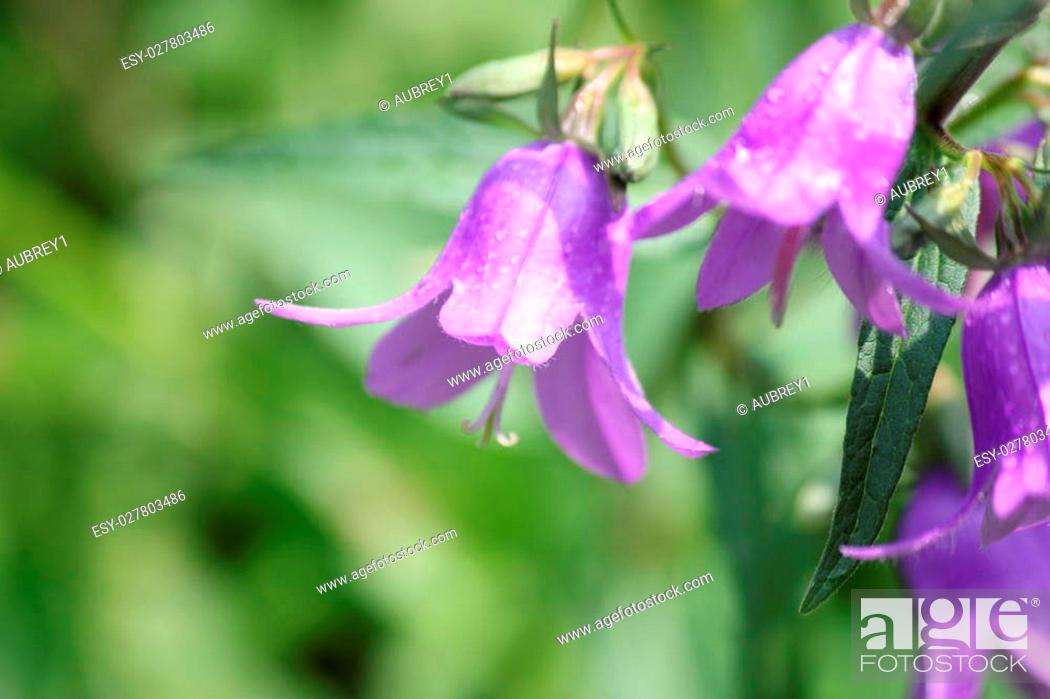 Pretty Purple Bell Shaped Harebell Flower Campanula Rotundifolia Growing In A Flower Garden Stock Photo Picture And Low Budget Royalty Free Image Pic Esy 027803486 Agefotostock