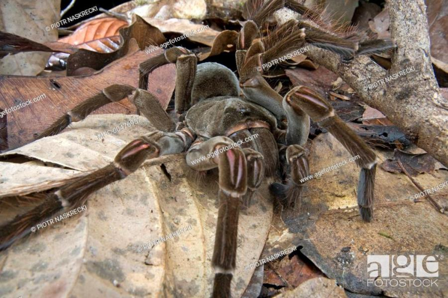 Goliath Bird eating Spider  Theraphosa blondi  in leaf litter     Stock Photo   Goliath Bird eating Spider  Theraphosa blondi  in leaf  litter  Guyana