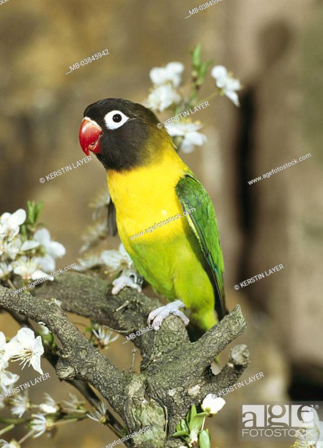 Foto De Stock Branch Schwarzkopfchen Agapornis Personata Vigilance Wildlife Animal Bird Parrot Bird Inseparable Mask Inseparable Plumages