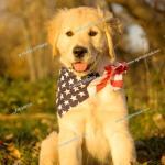 Portrait Of A Ten Week Old Female Golden Retriever Puppy Wearing Flag Like Patriotic Bandana Foto De Stock Imagen Derechos Protegidos Pic F76 849735 Agefotostock