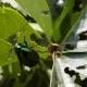 Invasion Of Green Beetles. Leaves Damaged